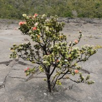 The ohi-'a lehua tree, source of one of Big Island Bees honeys.